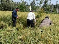 محدودیت مشروط کشت برنج در مازندران