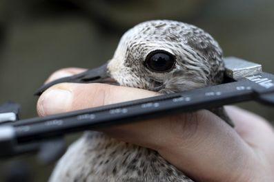 رفتار متفاوت انگلیسیها با پرندگان مهاجر