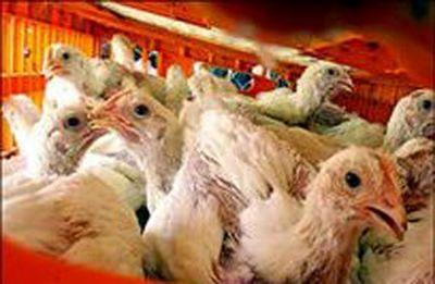 گرمای هوا باعث افزایش تلفات مرغ و کاهش تولید شد