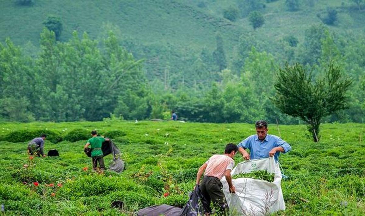 ۳۰ درصد چای کشور در داخل تولید می شود