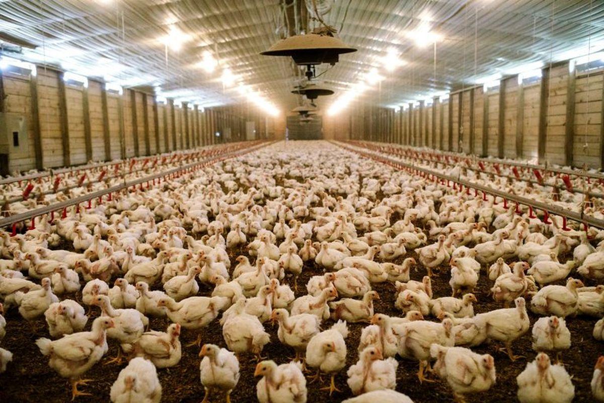 مرغها بیدان ماندند!