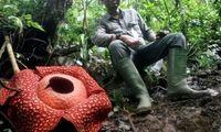 بزرگترین گل جهان در جنگلهای بارانی اندونزی شکفته شد +عکس
