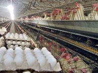 اگر تخممرغ را ارزان نکنند وارد میکنیم
