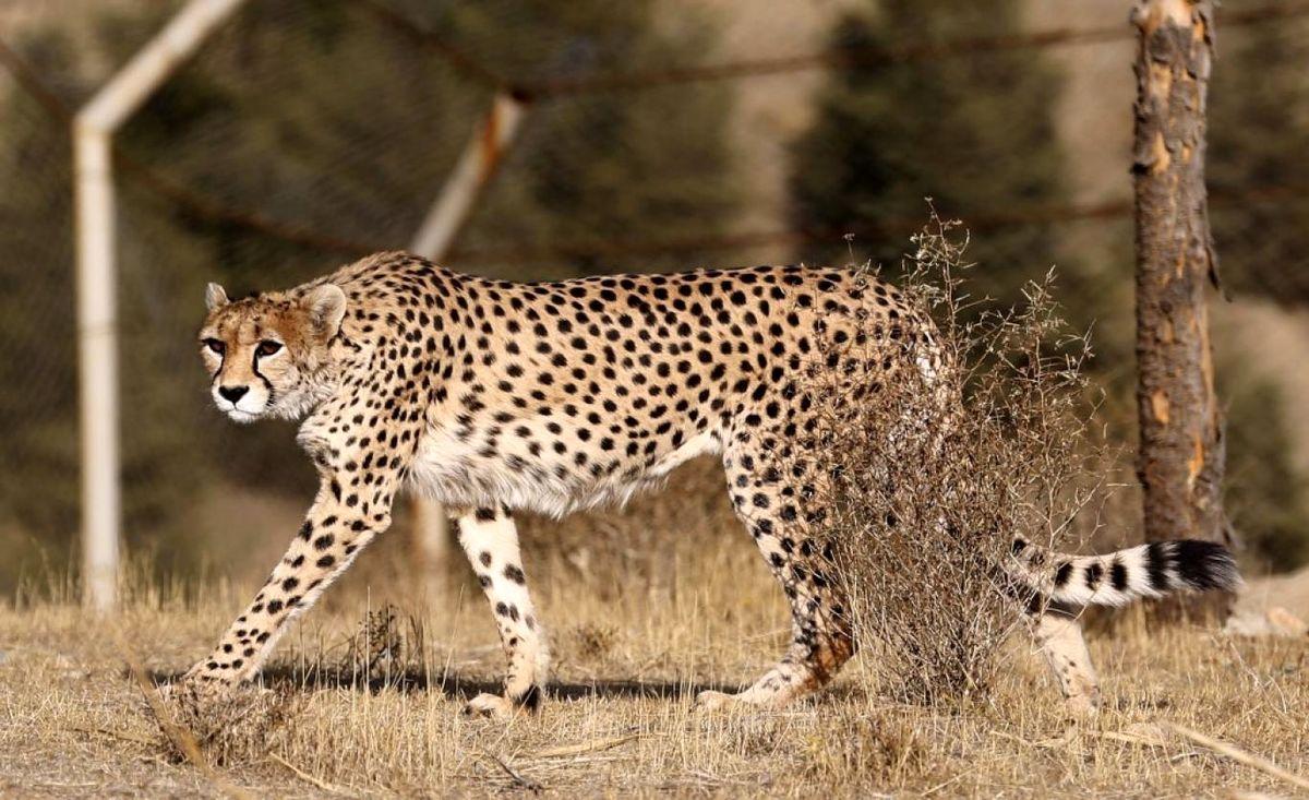 یوزپلنگ ایرانی در خطر  انقراض تصادفی!