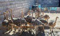 چراغ بازار پرورش شتر مرغ در همدان ناگهان خاموش شد