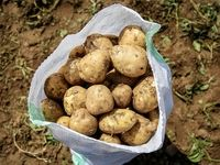 افزایش صادرات، سیبزمینی را هم گران کرد