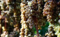 انگور ملایر ثبت جهانی شد