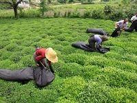کاهش بیسابقه تولید و صادرات چای ایرانی