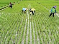شرط عدم افزایش قیمت برنج چیست؟