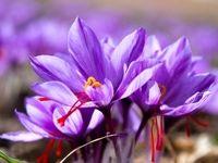 قیمت هر کیلوگرم زعفران ایرانی در بازار جهانی چند؟
