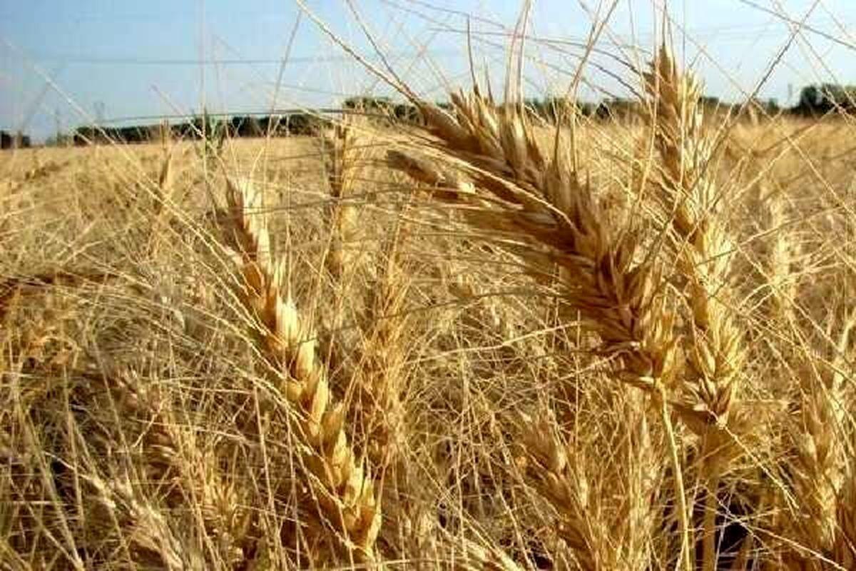 مجبور به واردات ۵ تا ۷ میلیون تن گندم هستیم