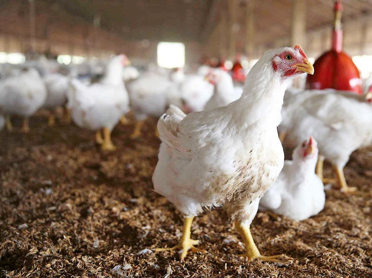 نیازمند افزایش توزیع مرغ هستیم