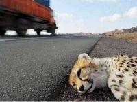 تنها زیستگاه مولد یوز در حصار جادهها