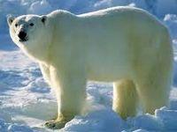 زبالهگردی خرس قطبی برای یافتن غذا +فیلم