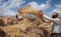 واردات گندم در صورت اصلاح نشدن قیمت خرید تضمینی قطعی است