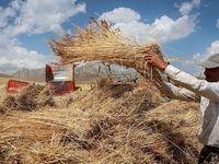 ۲.۲میلیون تن گندم از کشاورزان خریداری شد/ ۳.۵میلیارد تومان پول گندمکاران واریز شد