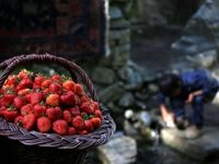 جشن شکرگزاری طلای سرخ کردستان +تصاویر