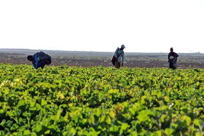 برداشت طالبی از مزارع دشت پرزان شهرضا +عکس