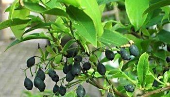 گیاهی برای درمان عوارض دیابت نوع ۲