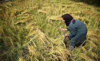 برداشت برنج در رضوانشهر +عکس