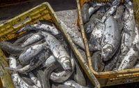 گرانی و کاهش 50درصدی تقاضای ماهی