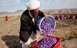 افزایش 2برابری سطح زیر کشت افغانها با قاچاق پیاز زعفران ایران/ تربت حیدریه کانون قاچاق!