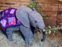 خرطوم بریده بچه فیل پیوند زده شد +عکس