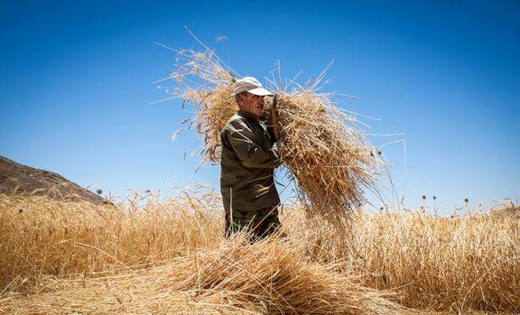 نرخ خرید تضمینی گندم بدون تغییر میماند/ هر کیلوگرم گندم به همان قیمت سال گذشته، ۱۳۰۰تومان خریداری میشود