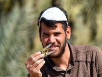 هجوم ملخها به مزارع آبادان +تصاویر