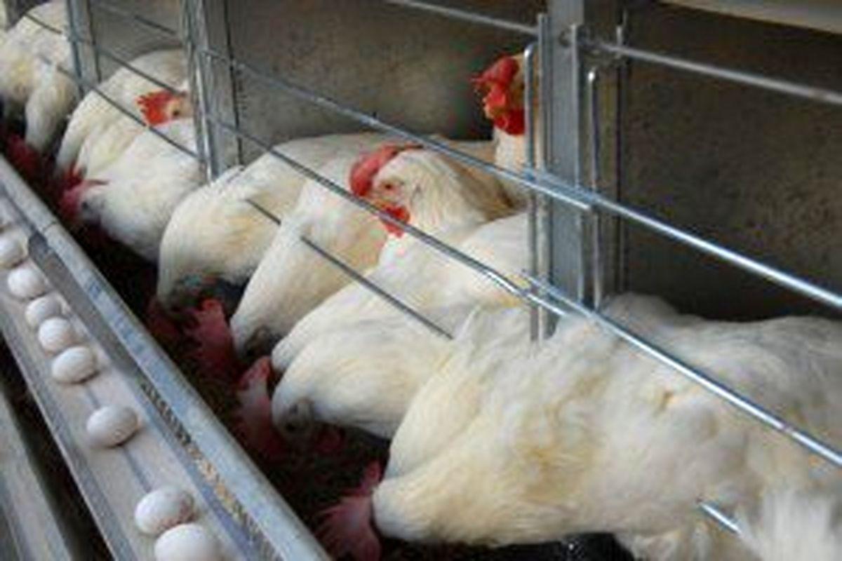 مرغ دوباره در مسیر افزایشی افتاد