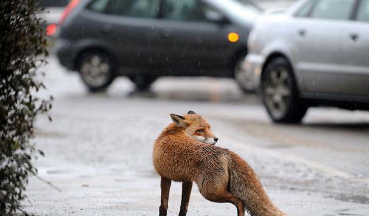 روباه کفش دزد! +عکس