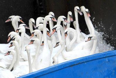 جمعآوری قوهای سفید از آبراههای اطراف شهر هامبورگ