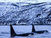 شنا با نهنگهای قاتل +تصاویر
