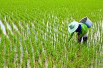 بازار برنج نوبرانه مازندران در انتظار کشف قیمت