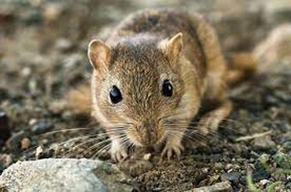 ماجرای موش عظیم الجثه و خبرساز در بندرعباس + عکس