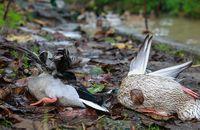 سایه مرگ و انتقام شکارچیان بر سر پرندگان