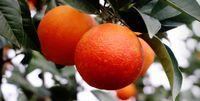 قیمت خرید پرتقال ۱۰هزار و ۵۰۰تومان اعلام شد