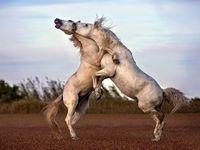 مبارزه اسبهای وحشی در عکس روز نشنال جئوگرافیک