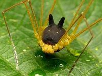 عجیبترین عنکبوت دنیا با سری شبیه سگ +عکس