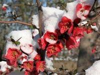 آمادگی کشاورزان خسارتهای سرمازدگی را کاهش داد