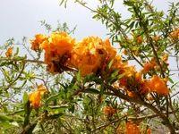 زیباترین درخت جهان در ایران میمیرد؟ +تصاویر