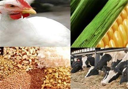 استاندارد کردن وزن مرغ برای تولید و کاهش واردات خوراک طیور