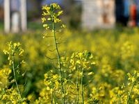 اعلام آخرین تاریخ کشت کلزا برای سال زراعی جدید
