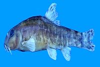 محققان ایران و ترکیه 4گونه ماهی را ثبت جهانی کردند