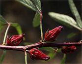 برداشت محصول چای قرمز روستا علوه +تصاویر