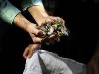 فصل خوردن جیرجیرک در سیرجان!