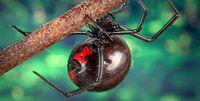 تاثیر عجیب نیش این عنکبوت روی بدن انسان +عکس