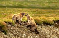 مبارزه خرسهای قهوهای در عکس روز نشنال جئوگرافیک