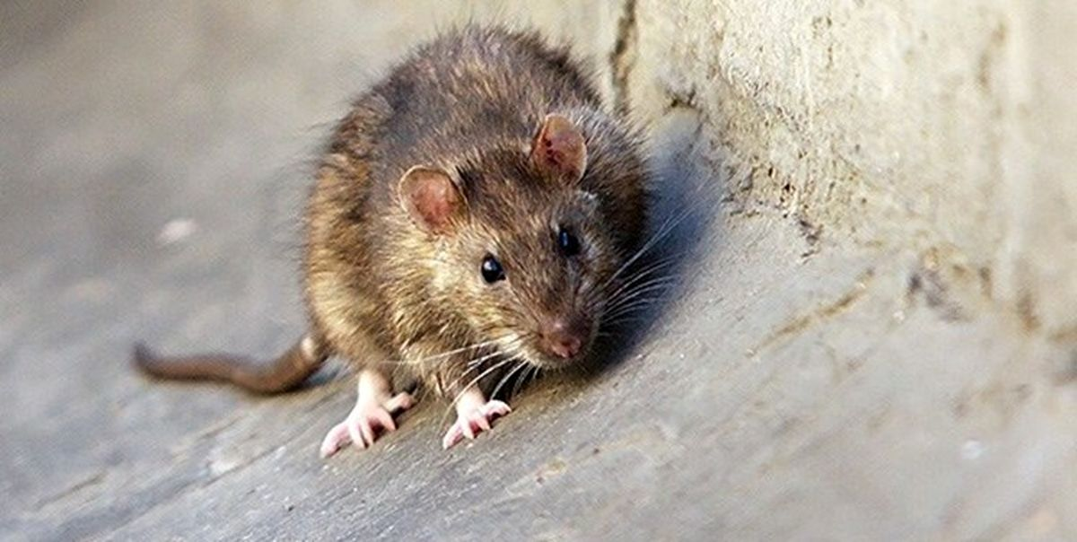 مبارزه با موشها در تهران