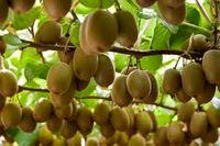 قیمت کیوی ایرانی در بازار جهانی 5برابر داخل/ موانع صادراتی را بردارید